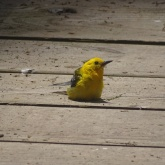 prothonotary warbler sitting on boardwalk 1