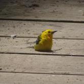 prothonotary warbler sitting on boardwalk 1
