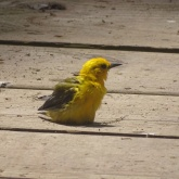 prothonotary warbler sitting on boardwalk 2