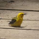 prothonotary warbler sitting on boardwalk 2