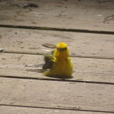 prothonotary warbler sitting on boardwalk 3