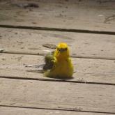 prothonotary warbler sitting on boardwalk 3