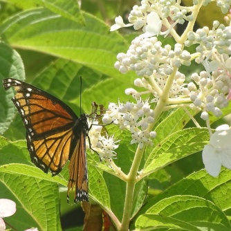 Viceroy butterfly 3