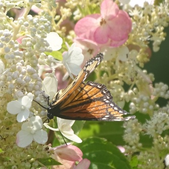 Viceroy butterfly 4