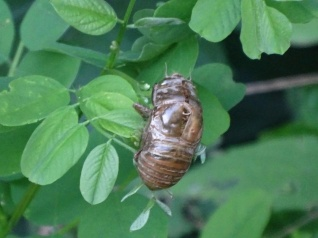 exoskeleton body shell of a Cicada