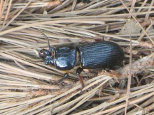 Horned passalus or betsy beetle