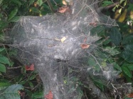 web and larva of fall webworm