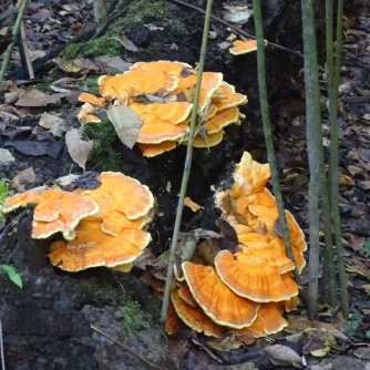 chicken of the woods 1