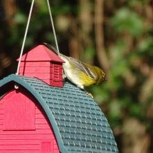 Pine Warbler 3