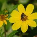 Bee on Bur Marigold