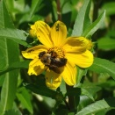 Bumble bee on Bur Marigold