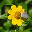 Gray hairsteak on Bur Marigold