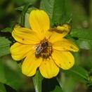 Honey bee on Bur Marigold