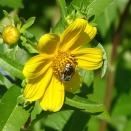 Long-horned bee on Bur Marigold