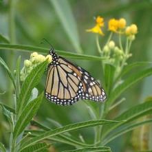 Monarch 8