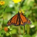 Monarch on Bur Marigold