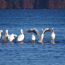 one pelican goes for a swim 2