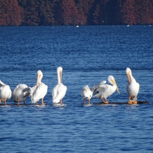 one pelican goes for a swim 3