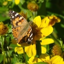 Painted Lady on Bur Marigold