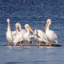 preening pelicans 1