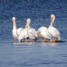 preening pelicans 3
