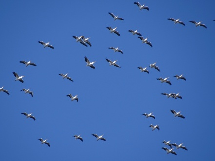 white pelicans overhead 1