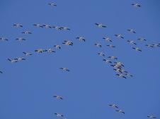 white pelicans overhead 2