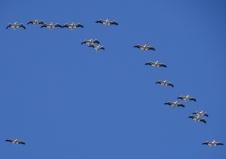 white pelicans overhead 3