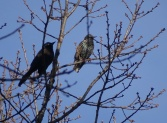 Grackle and European Starling