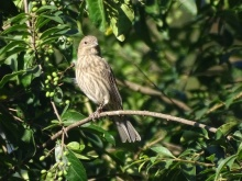 House finch_female