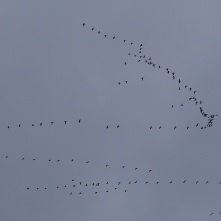 snow geese flying high