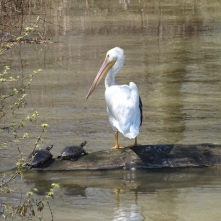 pelican and friends 3