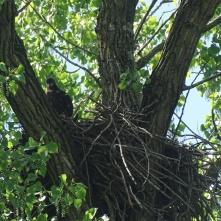 Bald eaglet 1