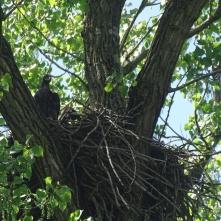 Bald eaglet 2