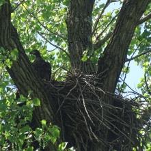 Bald eaglet 3