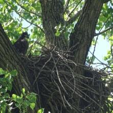 Bald eaglet 5