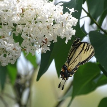 Eastern Tiger Swallowtail on white lilac 1