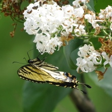 Eastern Tiger Swallowtail on white lilac 2