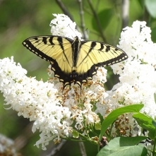 Eastern Tiger Swallowtail on white lilac 3