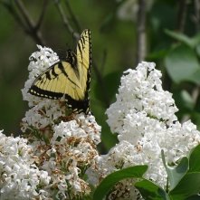 Eastern Tiger Swallowtail on white lilac 4