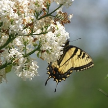 Eastern Tiger Swallowtail on white lilac 5