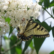Eastern Tiger Swallowtail on white lilac 6