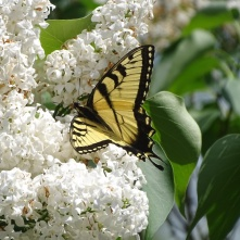Eastern Tiger Swallowtail on white lilac 7