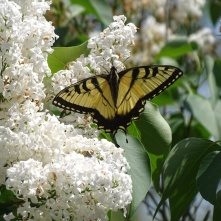Eastern Tiger Swallowtail on white lilac 8
