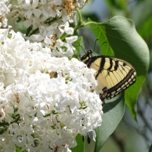 Eastern Tiger Swallowtail on white lilac 9