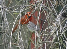 cardinal fledgling with male cardinal 3