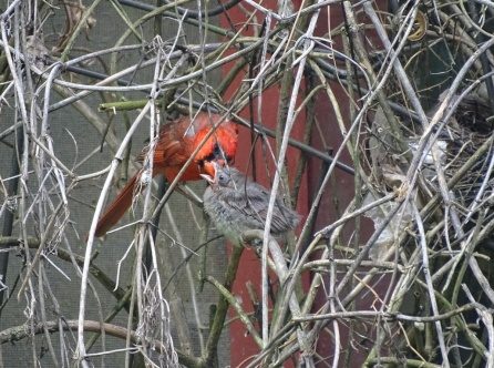 cardinal fledgling with male cardinal 4