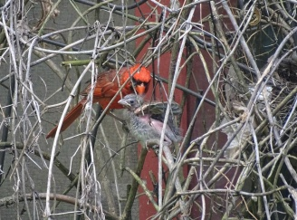 cardinal fledgling with male cardinal 5