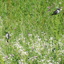 Eastern Kingbirds 3