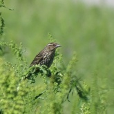 female Red-winged blackbird 1